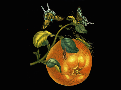 https://dorita.jp/dwjp/wp-content/uploads/2016/09/citrusgrandis_resize.png